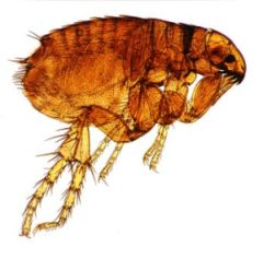 Fighting fleas