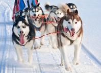 Iditarod dog sled