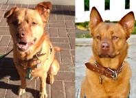 Hematomas-and-dogs