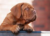 mastiff-dog