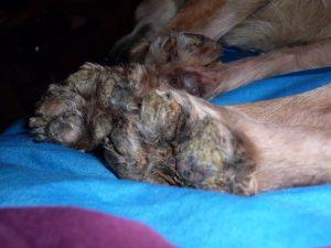 Necrotic dog paws