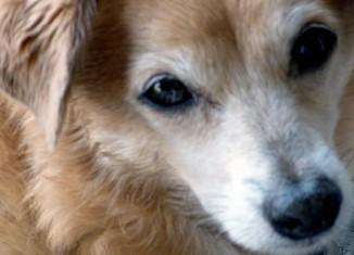 Senior dog Joey
