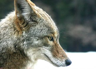 Coyotes-threaten-dogs