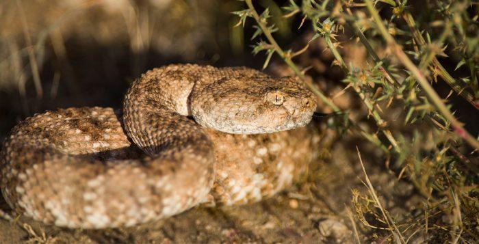 Rattlesnake-avoidance-training