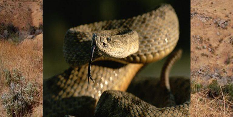 Rattlesnake dangers for dogs in LA