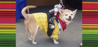 Chihuahuas for Cinco de Mayo