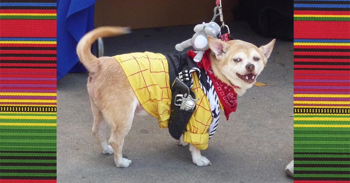 Chihuahuas for Cinco de Mayo