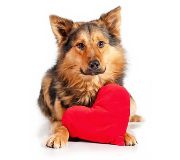 Dog-heart-murmur