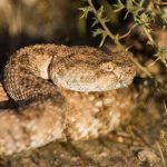 Rattlesnake-avoidance-training